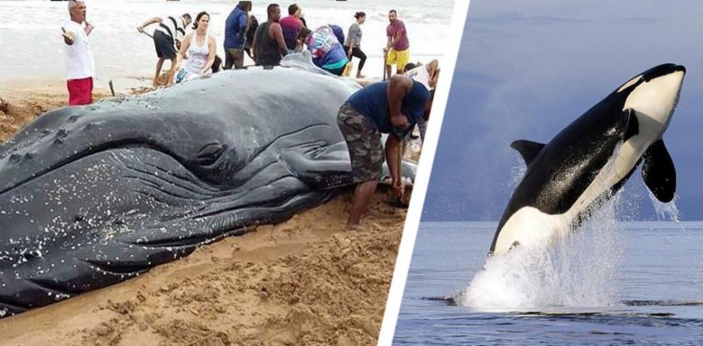 В Египте на морской берег выбросило тело пятиметровой косатки
